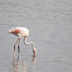 Greater Flamingos, Sholinganallur