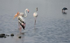 Greater Flamingos & Painted Storks, Sholinganallur