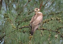 White-Eyed Buzzard, Puducherry