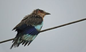 Indian Roller, Puducherry