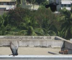 Rock Dove / House Crow, Chenai