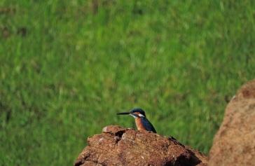 Common Blue Kingfisher