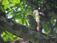 White-Cheeked Barbet, Kodaikanal