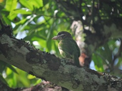 White-Cheeked Barbet, Kodaikanal