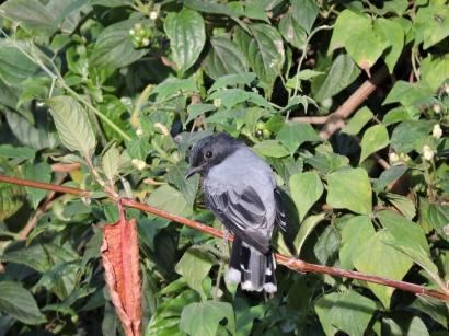 Black Headed Cuckooshrike