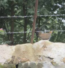 Grey Junglefowl (female)