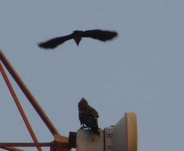 Black Kite / House Crow, Chennai