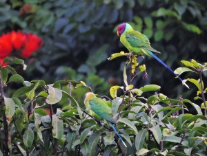Plum-Headed Parakeet, Kerala