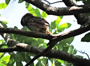 Jungle Owlet, Kerala