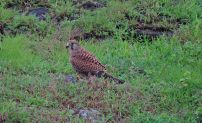 Common Kestrel, Kerala