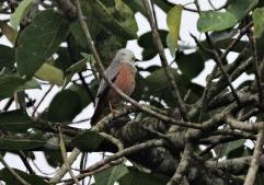 Chestnut Starling, Kerala