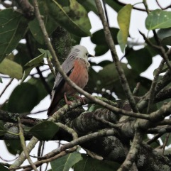 Chestnut Starling, Kerala