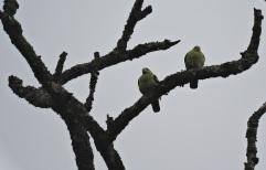 Pompadour Green Pigeons
