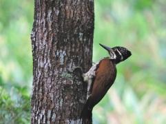 Greater Flameback (female), Kerala