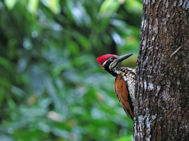 Greater Flameback (male), Kerala