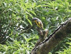 Orange Minivet (female), Tamil Nady
