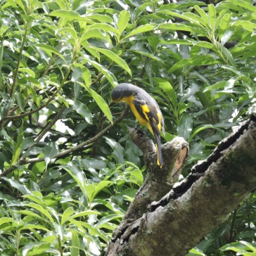 Orange Minivet (female), Tamil Nady