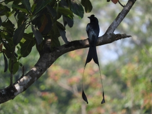 Racket-Tailed Drongo, Kerala