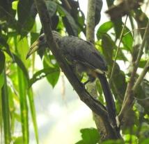 Malabar Grey Hornbill, Kerala
