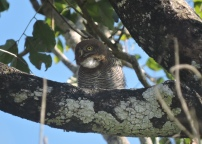 Jungle Owlet, Thekkady