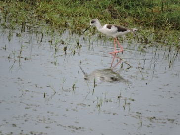Black Winged Stilt, Sholinganallur