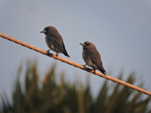 Ashy Woodswallows, ECR