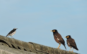 White-Browed Wagtail / Common Mynah, ECR