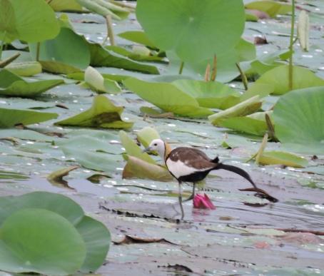 Pheasant-Tailed Jacana, Thiruvallur