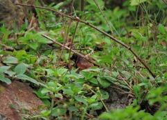 Black-Throated Munia