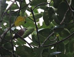 Chestnut Starling