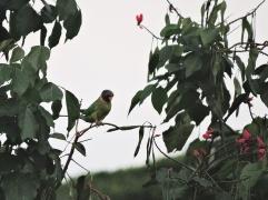 Plum-Headed Parakeet (female), Kerala