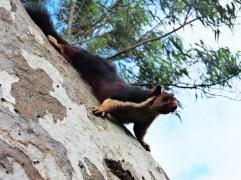 Malabar Giant Squirrel, Kerala