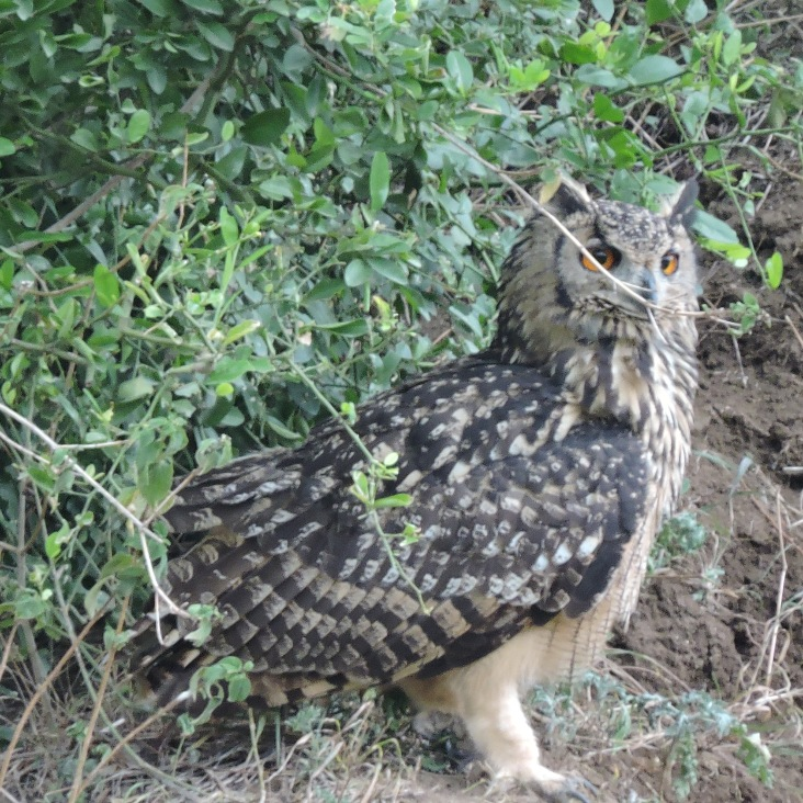 Indian Eagle Owl, Tamil Nadu