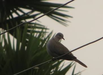 Eurasian Collared Dove, Kodaikanal