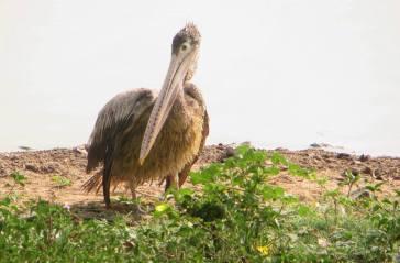 Grey Pelican, Muthukadu