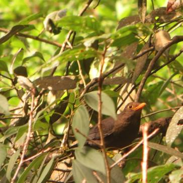 Eurasian Blackbird, Ooty