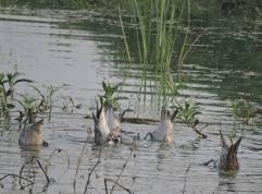 Spot-Billed Ducks, Vedanthangal