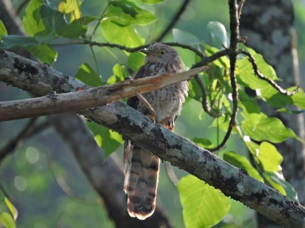 Common Hawk Cuckoo, Munnar