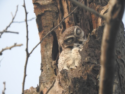 Spotted Owlet, Vedanthangal Bird Sanctuary