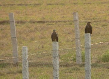 Black Kites, Kanchipuram