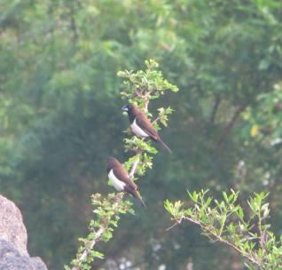Tricoloured Munias, Megamalai