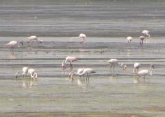 Greater Flamingos, Pulicat