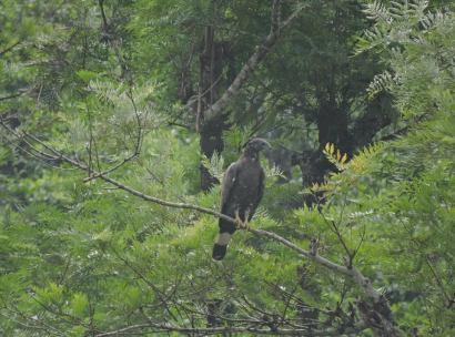 Serpent Crested Eagle, Valparai
