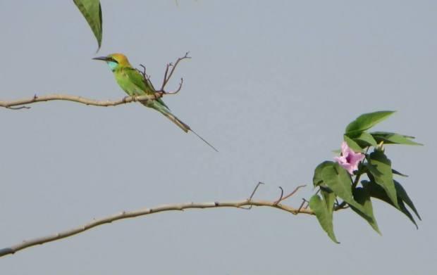 Green Bee Eater, Coimbatore