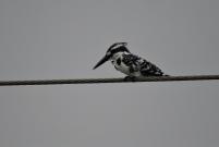 Pied Kingfisher, Chennai