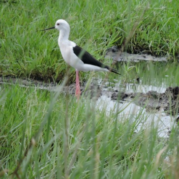 Black Winged Stilt, Ponneri