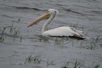 Spot Billed Pelican, Chennai