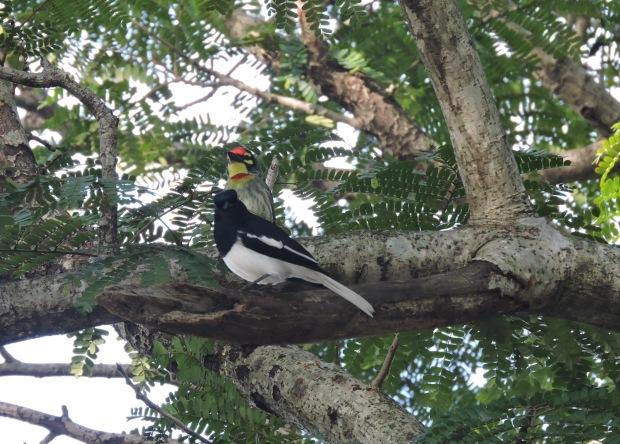 Coppersmith Barbet / Oriental Magpie Robinn, Vedanthangal