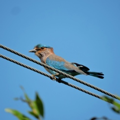 Indian Roller, Vedanthangal
