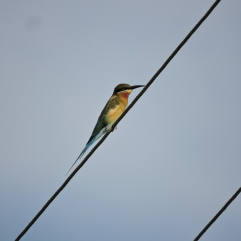 Blue-Tailed Bee Eater, Vedanthangal